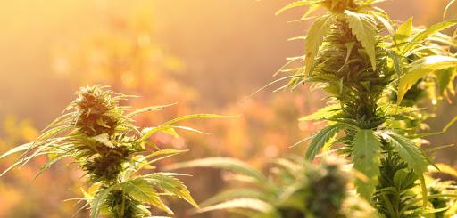 How does cannabis improve your sleep cycle?